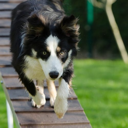 Disciplinas deportivas - Escuela de entrenadores caninos Moe Szyslak